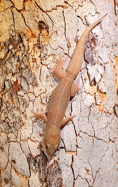 Top end dtella gecko (Gehyra australis) camouflaged against tree bark. Lake Argyle, near Kununurra, Western Australia.
