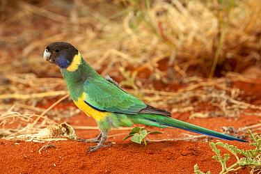 Australian ringneck (Barnardius zonarius semitorquatus). Watarrka National Park, Northern Territory, Australia.