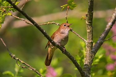 Nightingale (Luscinia megarhynchos ) singing, Germany, April.