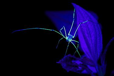 Harvestman (Opiliones) fluorescing under ultraviolet light at night. Cloud forest, Manu Biosphere Reserve, Peru. November.