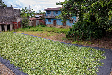 Coca (Erythroxylum coca) leaves drying in the sun. Amazonia, Peru. November.