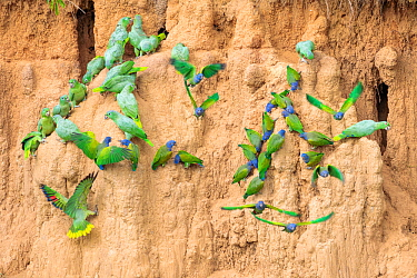Mixed flock of Mealy Parrots (Amazona farinosa) and Blue-headed Parrots (Pionus menstruus) feeding at the wall of a clay lick. Blanquillo Clay Lick, Manu Biosphere Reserve, Peru. November.