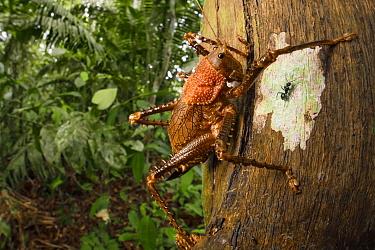Spiny lobster katydid (Panoploscelis sp.) on tree trunk. Manu Biosphere Reserve, Amazonia, Peru. November.