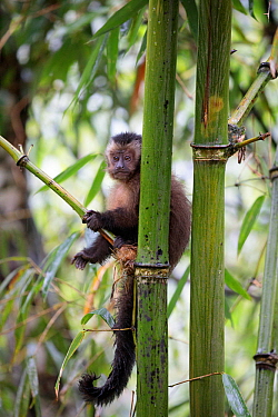 Brown / Tufted Capuchin (Cebus apella) juvenile in cloud forest, Manu Biosphere Reserve, Peru.