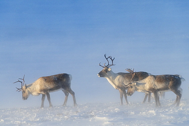 Wild reindeer (Rangifer tarandus) in snow-covered mountain landscape, in wind storm. Forollhogna, Norway.