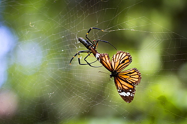 Golden orb-web spider (Nephila pilipes) spider snipping Common tiger butterfly (Danaus genutia) out of web. The butterfly contains toxins that make it distasteful to the spider releases it from web. B...