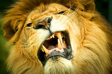 Lion (Panthera leo) with funny expression, Captive