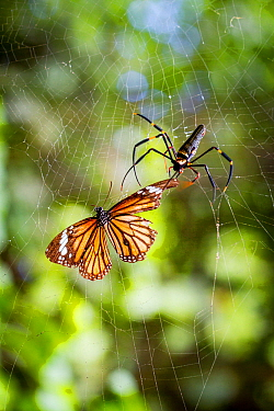 Nephila pilipes spider and common tiger butterfly (Danaus genutia). The butterfly contains toxins that make it distateful to the spider, so the spider snips the butterfly out of its web and releases i...