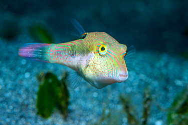 Bennet's sharpnose puffer (Canthigaster bennetti). North Sulawesi, Indonesia.