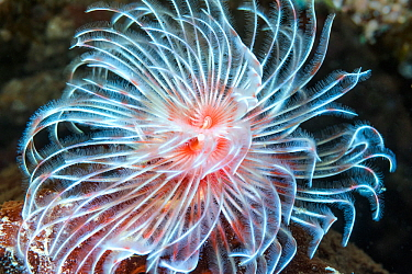 Feather duster worm (Protula magnifica). North Sulawesi, Indonesia.