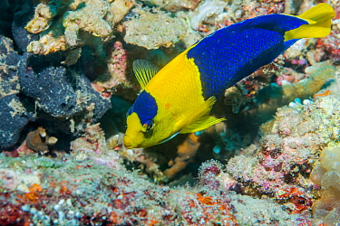 Bicolor angelfish (Centropyge bicolor). North Sulawesi, Indonesia.