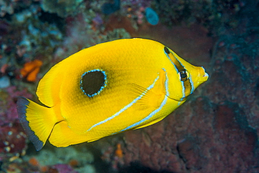 Bennet's butterflyfish or Bluelashed butterflyfish (Chaetodon bennetti). North Sulawesi, Indonesia.