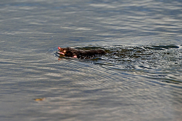 European mole (Talpa europaea) swimming In water, Lac de Neuchatel, Switzerland, September.