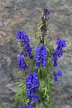 Monkshood (Aconitum napellus) in flower in mountain, Valais, Switzerland, September