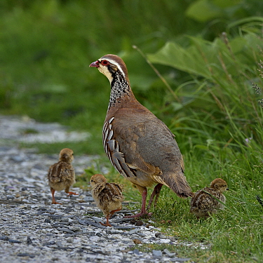 Red-legged partridge (Alectoris rufa) with chicks, Vendee, France, June