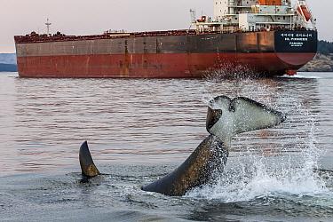 Killer whale or orca (Orcinus orca) lob tailing neqar freight ship, Salish Sea, Vancouver Island, British Columbia, Canada