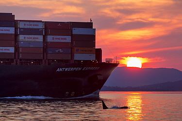 Killer whale or orca (Orcinus orca) swimming near freight ship,  Salish Sea, Vancouver Island, British Columbia, Canada