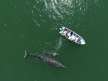 Grey whale / gray whale (Eschrichtius robustus) aerial, curious female and calf, San Ignacio Lagoon, Baja California, Mexico