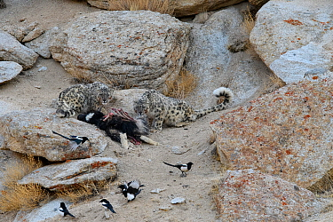 Snow leopard (Panthera uncia) female with older cub feeding on kill - a domestic yak calf (Bos grunniens) with scavenging magpies (Pica pica). Ladakh Range, Western Himalayas, Ladakh, India.
