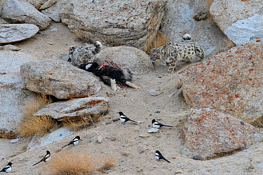 Snow leopard (Panthera uncia) female with cub feeding on kill - a domestic yak calf (Bos grunniens) with scavenging magpies (Pica pica). Ladakh Range, Western Himalayas, Ladakh, India.