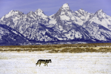 Wolf (Canis lupus) lone male walking in shadow of the Teton Mountains. Snake River valley near Jackson Hole. Grand Teton National Park, Wyoming, USA. January.