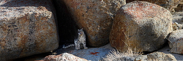 Snow leopard (Panthera uncia+ sitting at the entrance to a shady rocky cave where it had been resting. Ladakh Range, Western Himalayas, Ladakh, India.