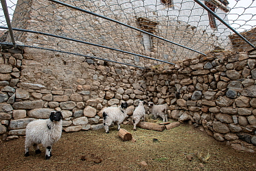 Sheep / domestic stock pen covered with chain-mail to protect against attacks from snow leopards (Panthera uncia). This has cut predation of domestic animals by 90%. Ulley Valley, Himalayas, Ladakh, n...