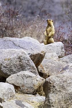 Himalayan marmot (Marmota himalayana) acting as a lookout sentinel outside its burrow. Ladakh, northern India.