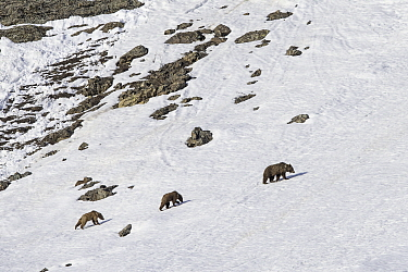 Himalayan brown bear (Ursus arctos isabellinus) female with two young cubs climbing up snowy slope. Western Ladakh, northern India.