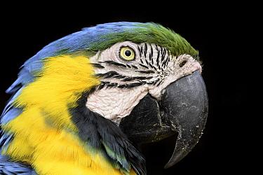Blue-and-yellow macaw (Ara ararauna) Nothern Pantanal, Mato Grosso, Brazil. September.