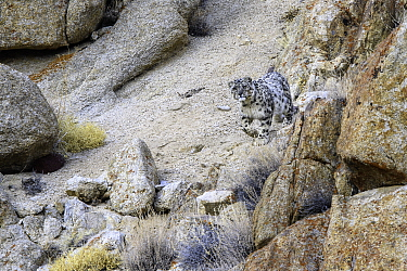 Snow leopard (Panthera uncia) female beginning to stalk prey through broken rocky terrain. Ladakh Range, Western Himalayas, Ladakh, India.
