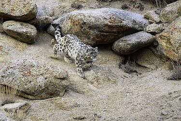 Wild Snow leopard (Panthera uncia) stalking prey over broken rocky terrain. Ladakh Range, Western Himalayas, Ladakh, India.