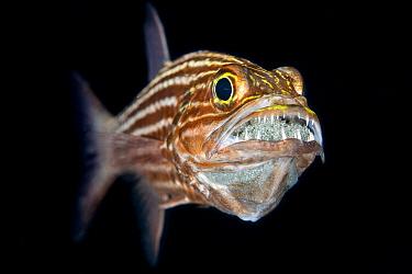 Tiger cardinalfish (Cheilodipterus macrodon) male mouth broods a clutch of eggs behind his sharp teeth. Gubal Island, Egypt. Strait Of Gubal, Red Sea.