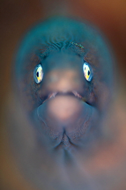 Shallow depth of field portrait of a White-eyed moray (Siderea thysoidea). Bitung, North Sulawesi, Indonesia. Lembeh Strait, Molucca Sea.