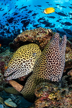 Pair of a Honeycomb moray eels (Gymnothorax favagineus) on a coral reef with triggerfish schooling above. North Male Atoll, Maldives, Indian Ocean.