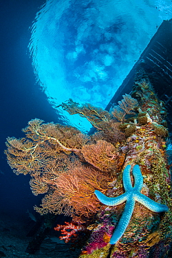 Seafans and soft corals grow on the wooden legs of Arborek jetty, with Blue starfish (Linckia laevigata). Arborek Island, Raja Ampat, West Papua, Indonesia. Dampier Strait. Ceram Sea. Tropical West Pa...