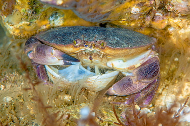 Edible crab (Cancer pagurus) feeding on a bivalve on a chalk reef. Sherringham, north Norfolk, England, United Kingdom. North Sea
