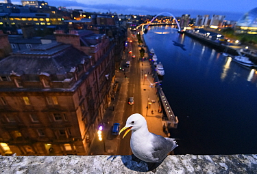 Black-legged kittiwake (Rissa tridactyla) adult perched on the side of the Tyne Bridge, overlooking Newcastle and the Tyne. Newcastle, UK. July
