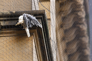 Black-legged kittiwake (Rissa tridactyla) adult killed in netting erected on listed buildings in Newcastle city centre to prevent the birds from nesting and defecating on them. Newcastle, UK. May
