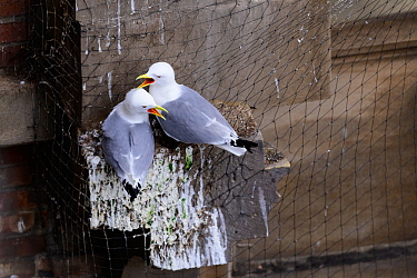 Black-legged kittiwake (Rissa tridactyla) pair calling whilst perched on netting on a building in Newcastle city centre. The netting is erected on listed buildings as a deterrent to stop birds nesting...
