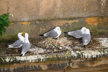 Black-legged kittiwake (Rissa tridactyla) adults and recently-hatched chicks on nests on a building ledge in Newcastle city centre. The image also shows netting erected on the buildings to prevent kit...