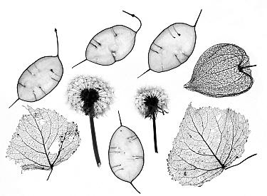 Honesty seeds (Lunaria annua), Chinese lanterns (Physalis alkekengi), Dandelions (Taraxacum officinale) and skeleton leaves