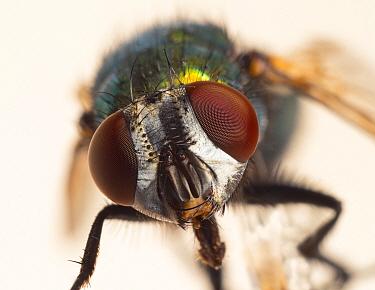 Greenbottle fly (Dasyphora cyanella) close up