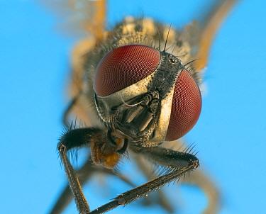 Housefly (Musca domestica) close up.