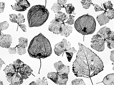 Chinese Lanterns (Physalis alkekengi), Hydrangea flowers, Poplar leaves (Populus) and Honesty skeletons (Lunaria annua), silhouettes on white background.