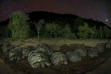 Alcedo giant tortoise (Chelonoidis vandenburghi) group resting in water at night, Alcedo Volcano, Isabela Island, Galapagos