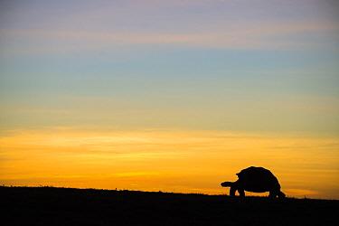 Alcedo giant tortoise (Chelonoidis vandenburghi) silhouetted at sunrise, Alcedo Volcano, Isabela Island, Galapagos