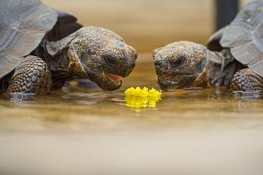 Floreana giant tortoise hybrid descendants (Chelonoidis elephantopus) feeding on flower. These are descendants of the extinct Floreana giant tortoise, but are hybridised with other species. Fausto Lle...