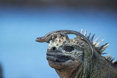 Galapagos lava lizard (Microlophus albemarlensis) sitting on Marine iguana (Amblyrhynchus cristatus) Punta Espinosa, Fernandina Island, Galapgos.