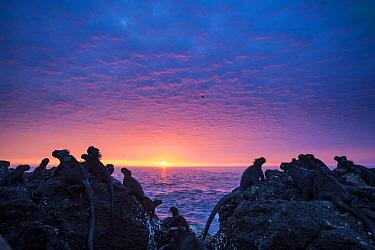 Marine iguanas (Amblyrhynchus cristatus) silhouettes at sunset, Punta Vicente Roca, Isabela Island, Galapagos